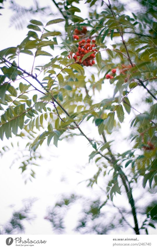 Red Leaf Environment Fruit Growth Wild plant