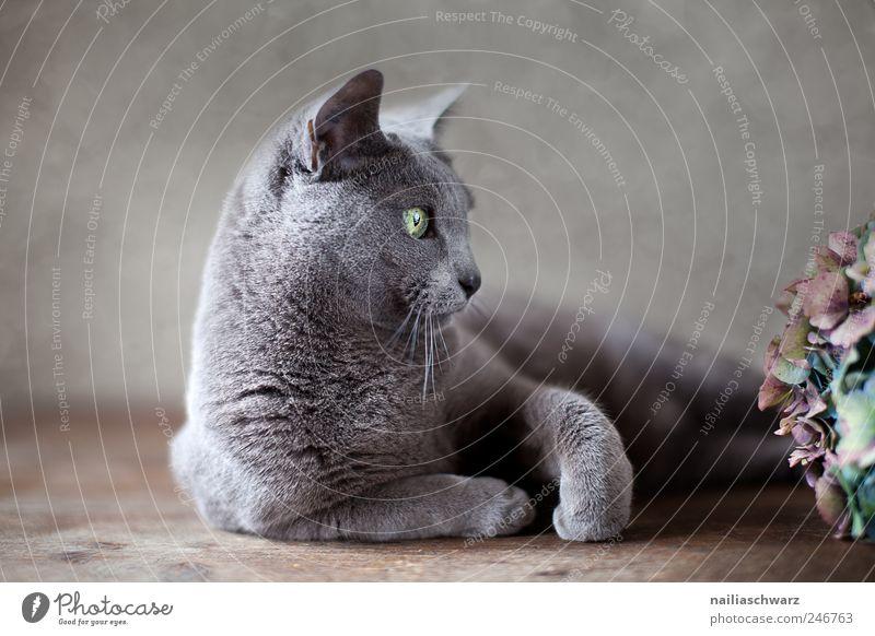 Plant Flower Animal Gray Cat Brown Elegant Lie Esthetic Animal face Curiosity Cute Silver Pet Short-haired Hydrangea