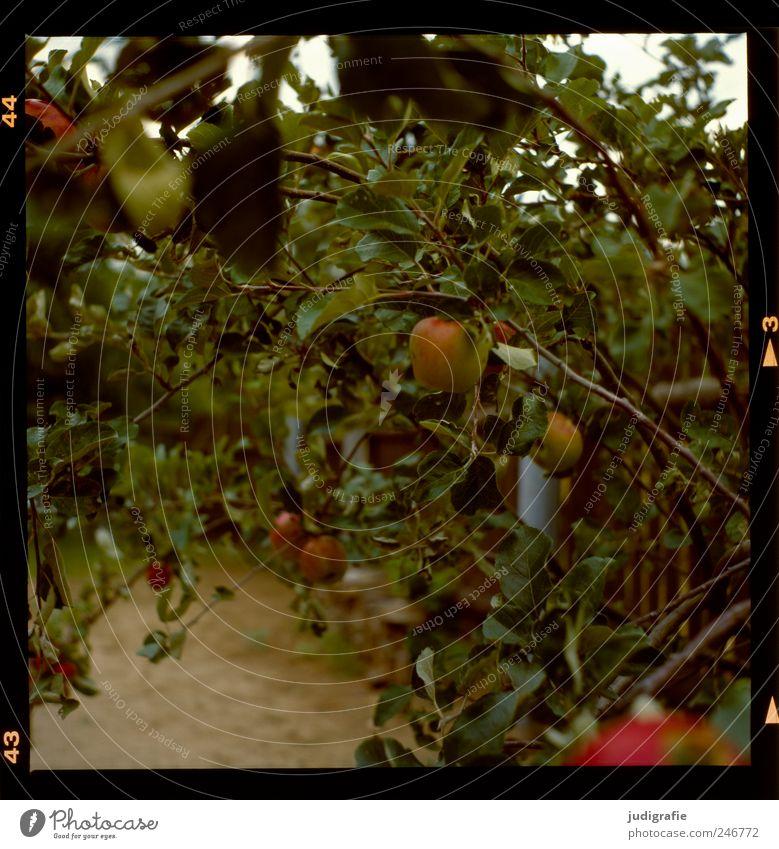 Nature Tree Plant Summer Nutrition Environment Food Fruit Growth Apple Organic produce Apple tree