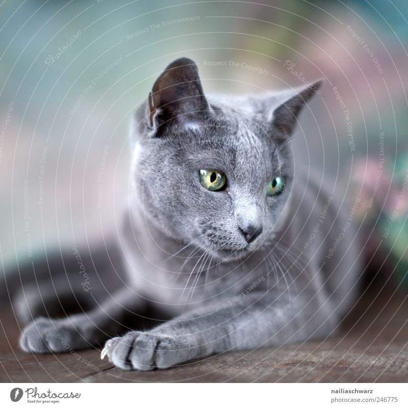 Blue Animal Cat Elegant Lie Esthetic Cute Pet Russian