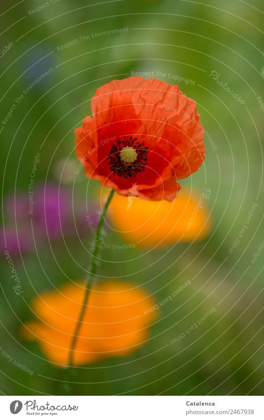 poppy day Nature Plant Summer Flower Blossom Corn poppy Garden Blossoming Faded Beautiful Green Orange Pink Red Moody Happiness Colour Esthetic Design Growth