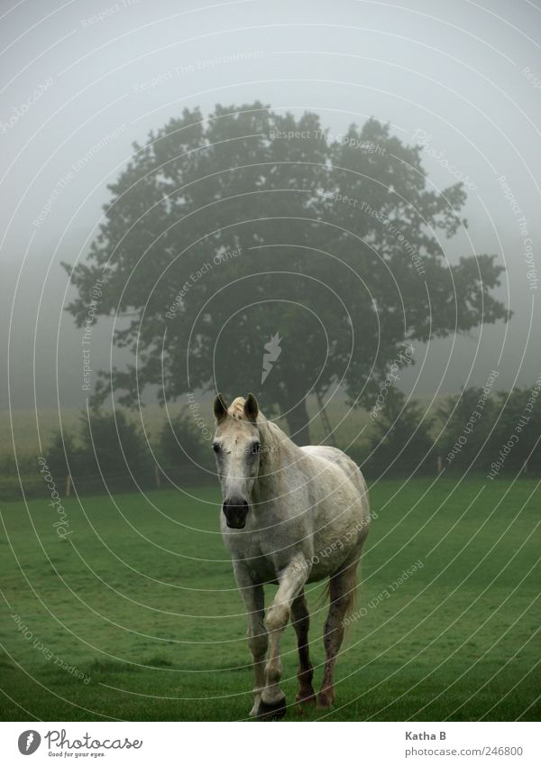 Out of the Dawn Ride Farm Equestrian sports Fog Tree Meadow Field Pasture Horse 1 Animal Going Trust Sympathy Love of animals Gray (horse) Colour photo