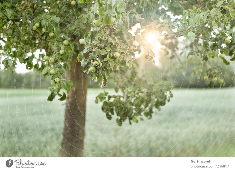 Nature Tree Green Sun Summer Leaf Landscape Environment Field Apple tree Apple tree leaf