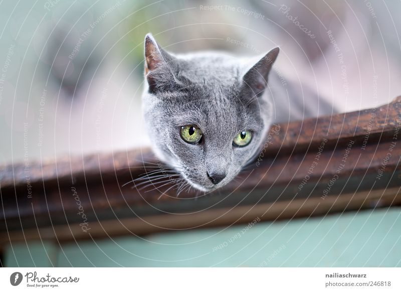 Curious cat Animal Pet Cat Animal face russian blue Short-haired 1 Observe Lie Esthetic Beautiful Curiosity Blue Brown Gray Silver Colour photo Interior shot
