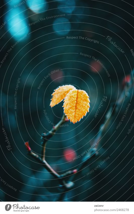 Close-up of some isolated yellow leaves of rosa rubiginosa with a blurred background of nature Beautiful Calm Winter Mountain Garden Wallpaper Nature Plant