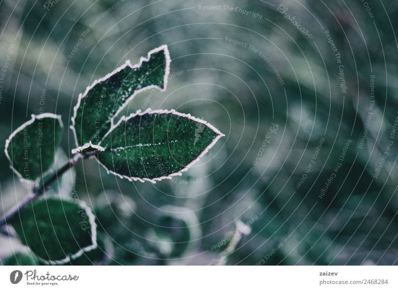 Close-up of frozen leaves Nature Plant Colour Beautiful Green White Leaf Calm Forest Winter Mountain Dark Natural Snow Garden Brown