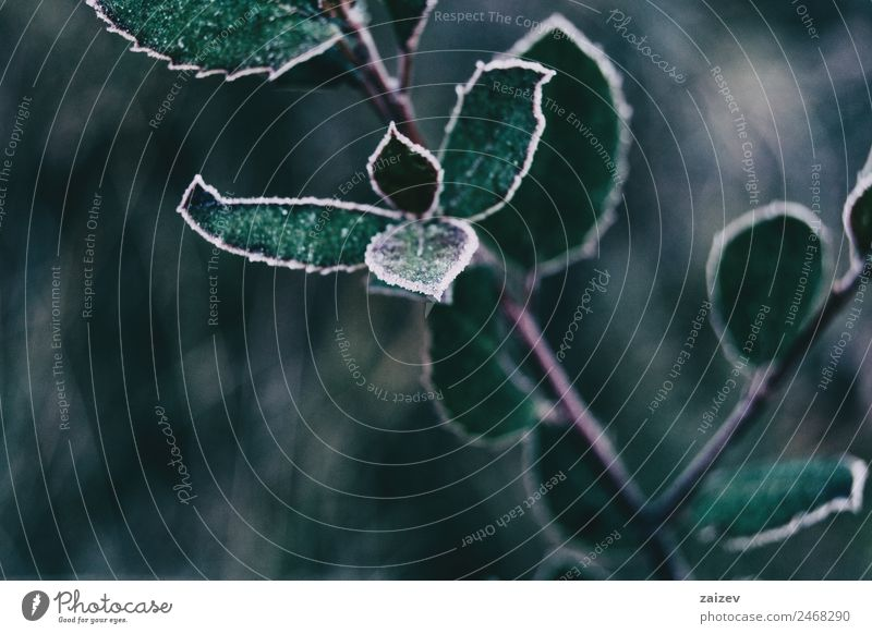 Close-up of frozen leaves and snow of cistus salviifolius Nature Plant Colour Beautiful Green White Leaf Calm Forest Winter Mountain Dark Natural Snow Garden