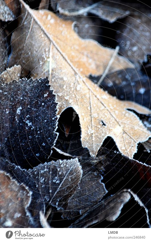 Frosty beginning of autumn Nature Autumn Ice Leaf Black Hoar frost Oak leaf Contrast Autumn leaves Autumnal Colour photo Subdued colour Exterior shot Close-up