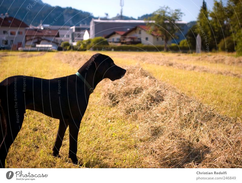 doglife Playing Nature Landscape Sky Cloudless sky Summer Grass Meadow Field Animal Pet Dog Breathe Hunting Jump Romp Brash Happiness Happy Infinity Thin Wild
