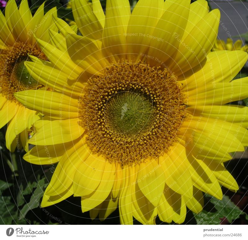 Sun Flower Summer Yellow Colour Force Sunflower
