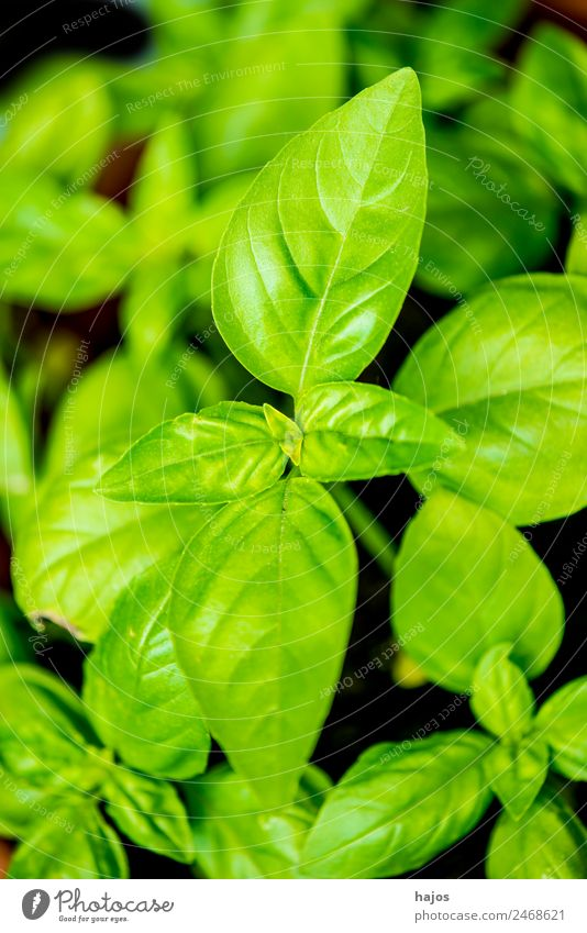 basil Herbs and spices Italian Food Summer Nature Healthy Health care Basil Green leaf Fresh seasoning medicinal plant Mediterranean Coast Spicy Plant Close-up