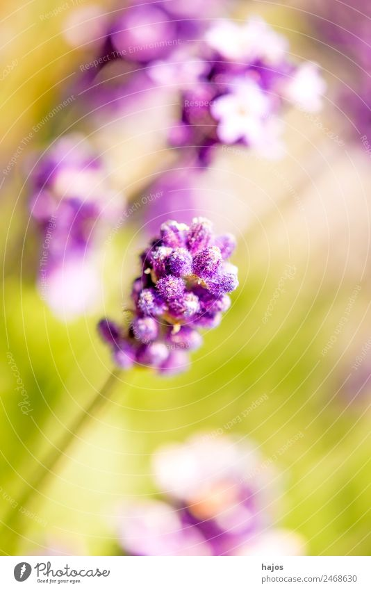 Lavender, blossom Summer Nature Plant Flower Agricultural crop Bright Violet Blossom Close-up purple summer flora Mediterranean Perfume Fragrance