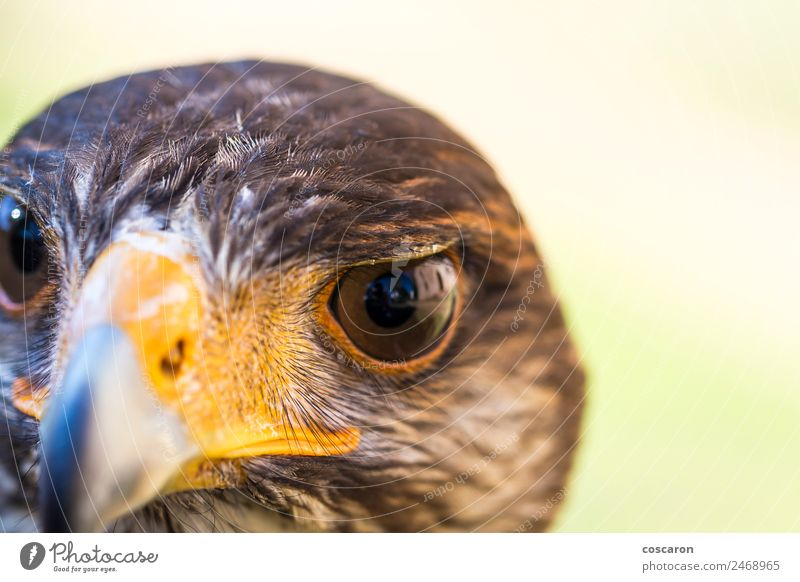 Portrait of Harris hawk. Close-up Hunting Hand Nature Animal Sky Tree Forest Wild animal Bird Animal face 1 Sit Brown Yellow Red White background Beak branch