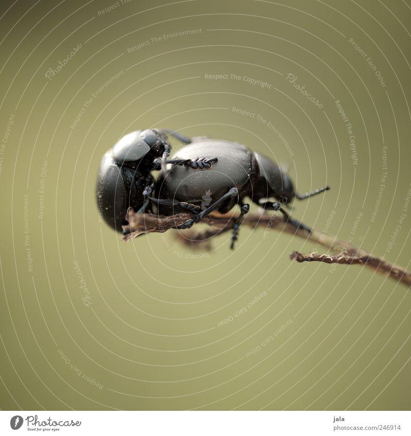 Green Animal Black Pair of animals Wild animal Beetle Aggression