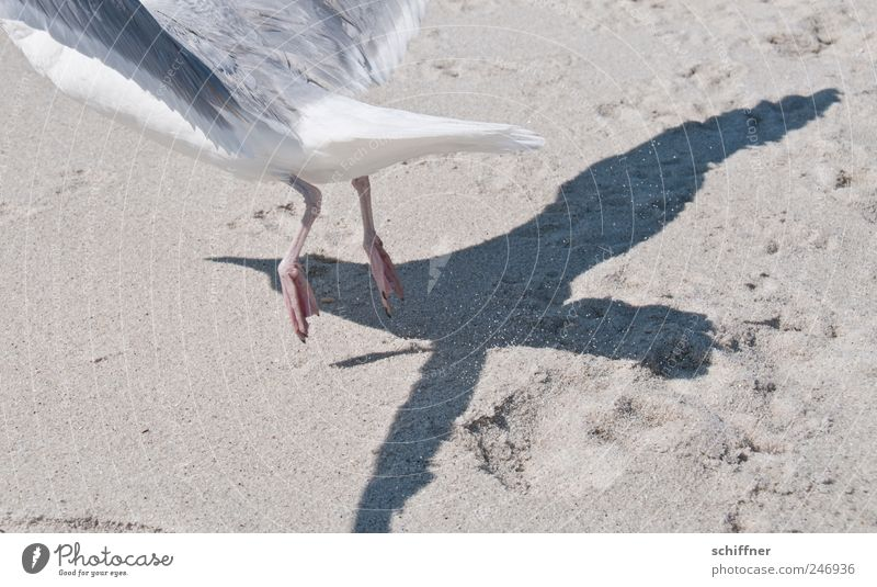 Make me the jet... Animal Wing 1 Flying Departure Seagull Gull birds Bird Shadow Shadow play Jet Paw Sand Beach Speed Exterior shot Deserted Silhouette