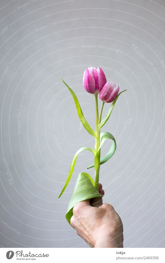 Green Hand Flower Blossom Exceptional Pink In pairs Fresh Blossoming Uniqueness To hold on Attachment Stalk Tulip Bright background