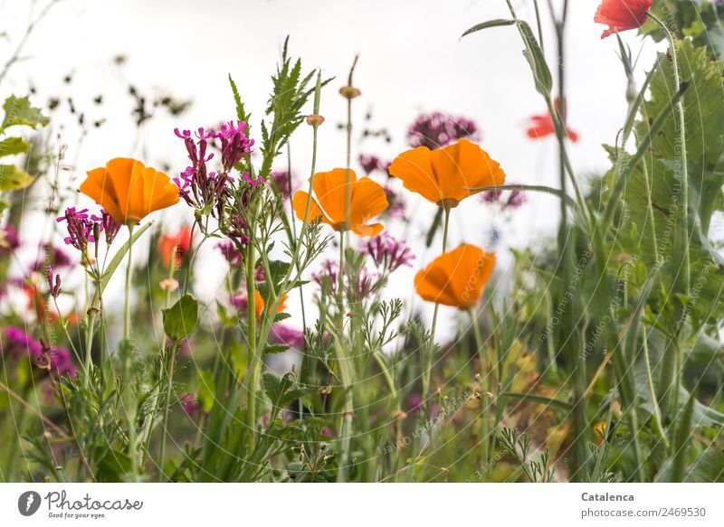 Flower meadow with poppy seeds Plant Summer Grass Leaf Blossom Wild plant Poppy blossom Phlox Garden Meadow Blossoming Fragrance Faded Growth Esthetic Beautiful