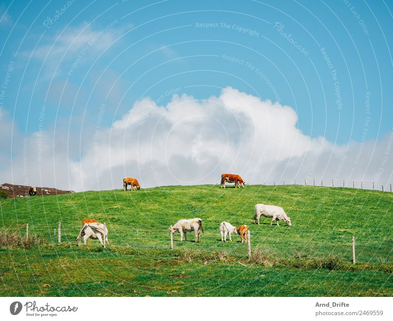 Ireland Landscape Sky Clouds Spring Summer Beautiful weather Meadow Field Hill Animal Farm animal Cow Calf Group of animals Herd Pair of animals Baby animal