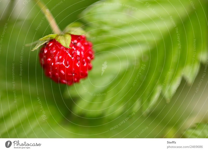 Forest Strawberry Fruit Nature Plant Summer Agricultural crop Wild plant Wild strawberry Berries Garden Fresh Delicious Round Sweet Green Red Medicinal plant