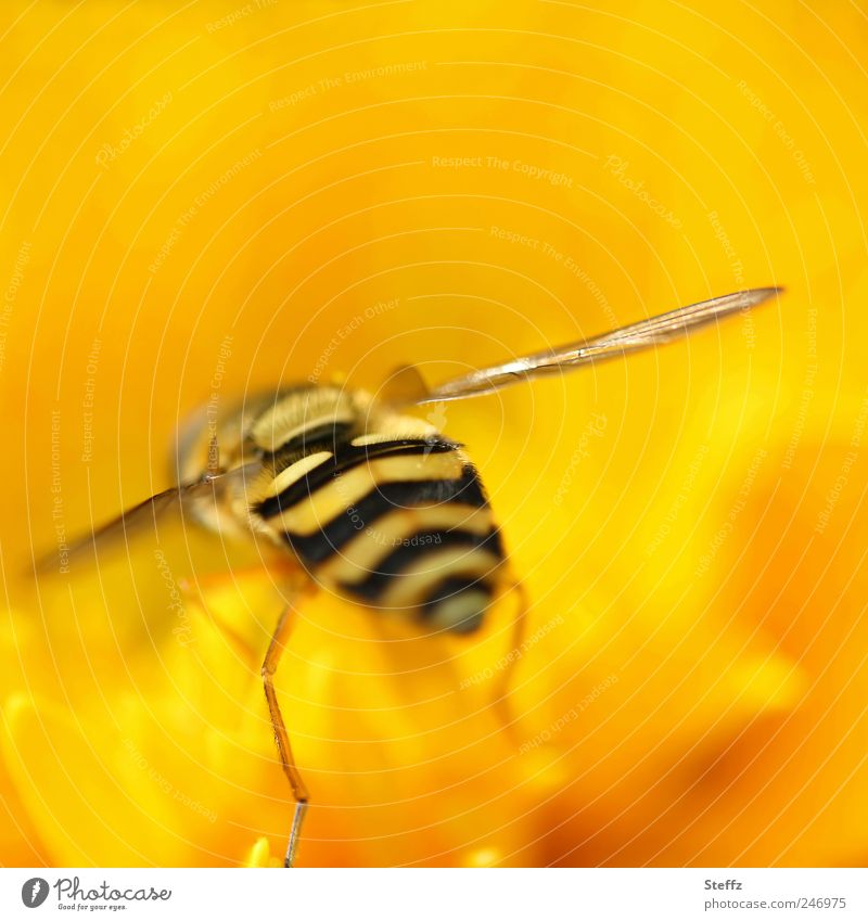 turn yellow Nature Plant Animal Summer Flower Blossom Fly Wing Hover fly Legs Insect Hind quarters Hind leg 1 Crazy Yellow Colour Striped Warm colour Opposite