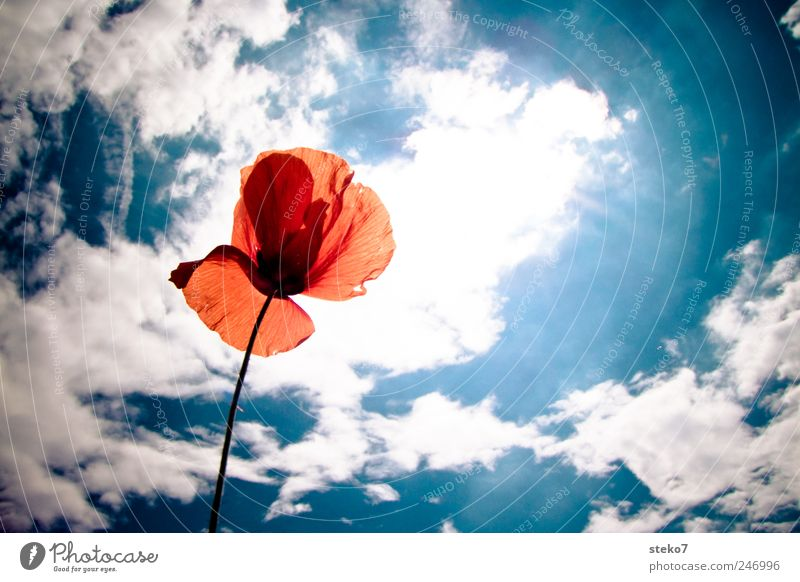 Sky White Blue Sun Red Summer Clouds Blossom Warmth Bright Beautiful weather Poppy blossom