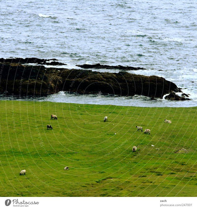 Ireland Nature Landscape Plant Animal Water Grass Meadow Rock Waves Coast Bay Ocean Atlantic Ocean Island Farm animal Sheep Flock Group of animals Herd To feed