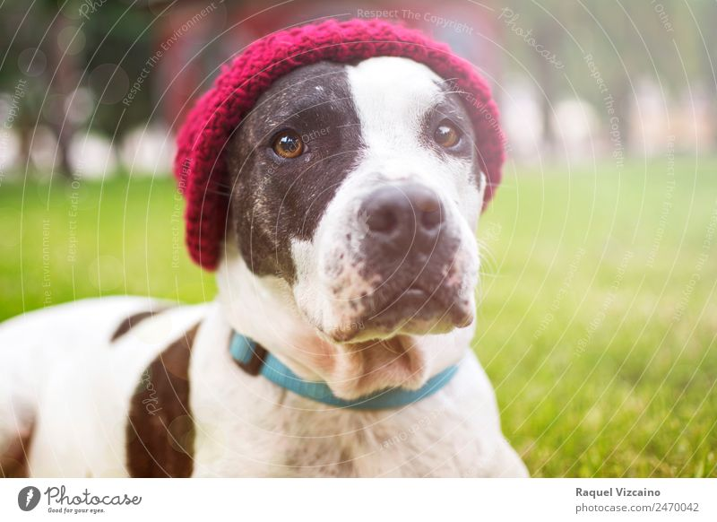 Dog looking at the camera Autumn Park Pelt Hat Animal Pet 1 To enjoy Jump Friendliness Good Green Red White Calm Self Control Colour photo Multicoloured