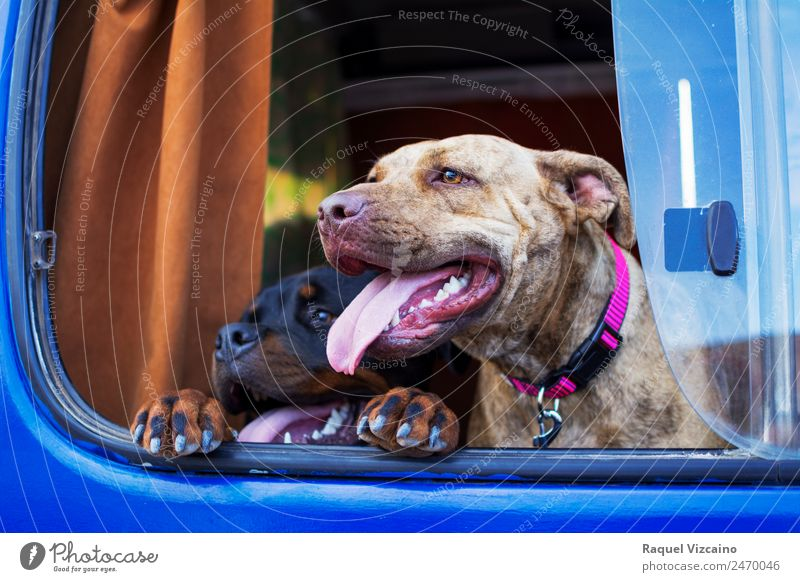 Two dogs poking their heads out the window of a car. Transport Vehicle Caravan Animal Pet Dog Animal face 2 Pair of animals Driving Looking Together Happy