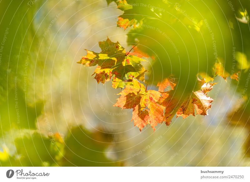Golden Autumn Tourism Environment Nature Plant Animal Sunlight Weather Beautiful weather Tree Leaf Wild plant Forest Yellow Green Orange Germany Maple leaf