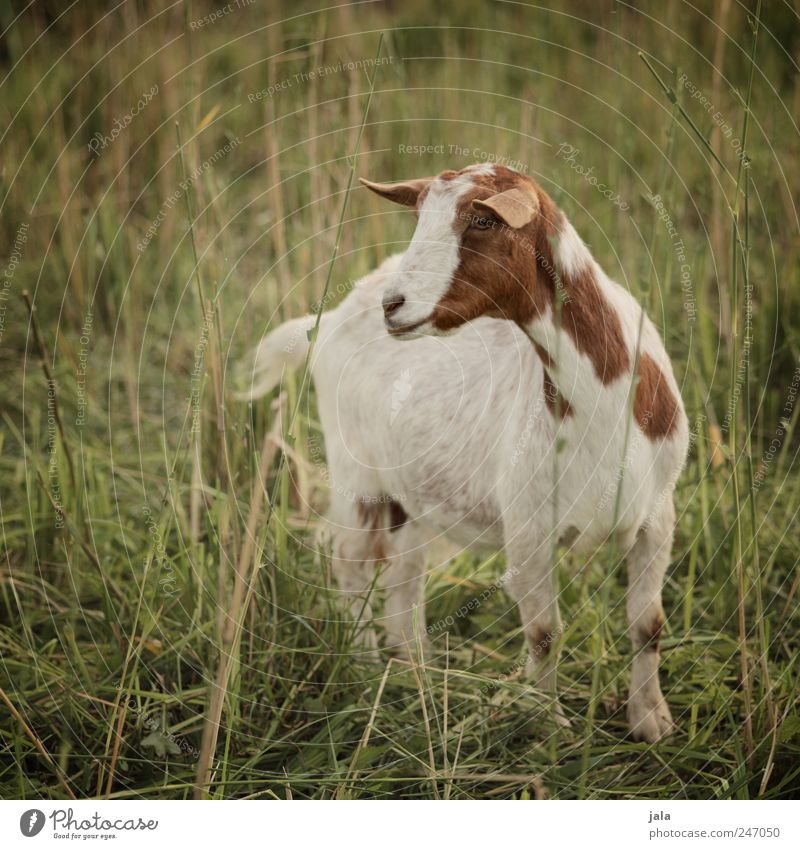 Nature White Green Plant Animal Meadow Landscape Grass Environment Brown Natural Bushes Farm animal Goats