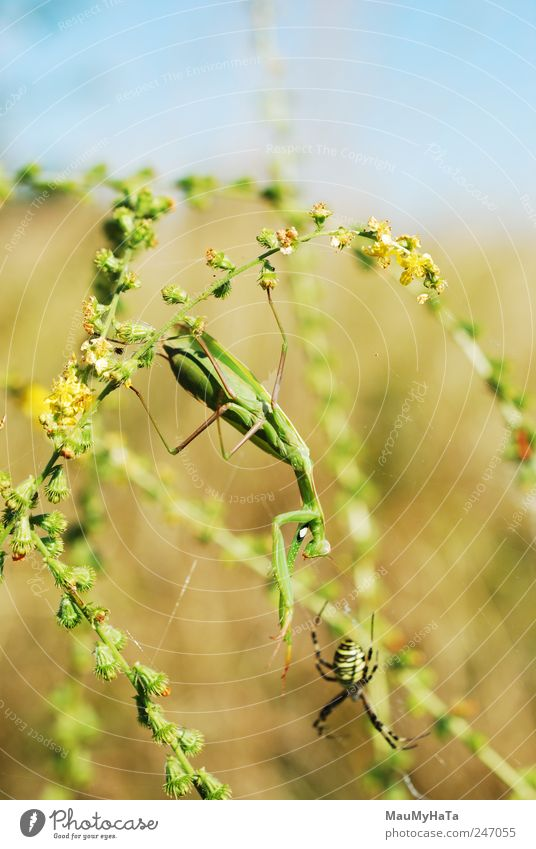 Mantis and Spider Nature Plant Animal Sky Sunlight Summer Climate Wind Grass Leaf Blossom Garden Park Field Wild animal Claw Paw 2 Playing Aggression Blue Brown