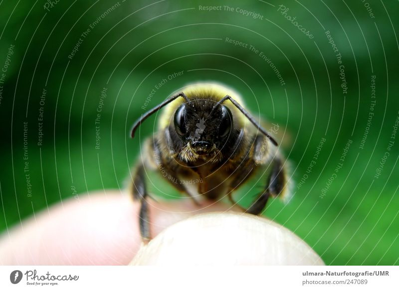 Hey bumblebee Nature Animal Brunette Blonde Short-haired Hair Wild animal Bee Animal face Pelt Claw Paw 1 Observe Touch Discover Catch Flying Exceptional