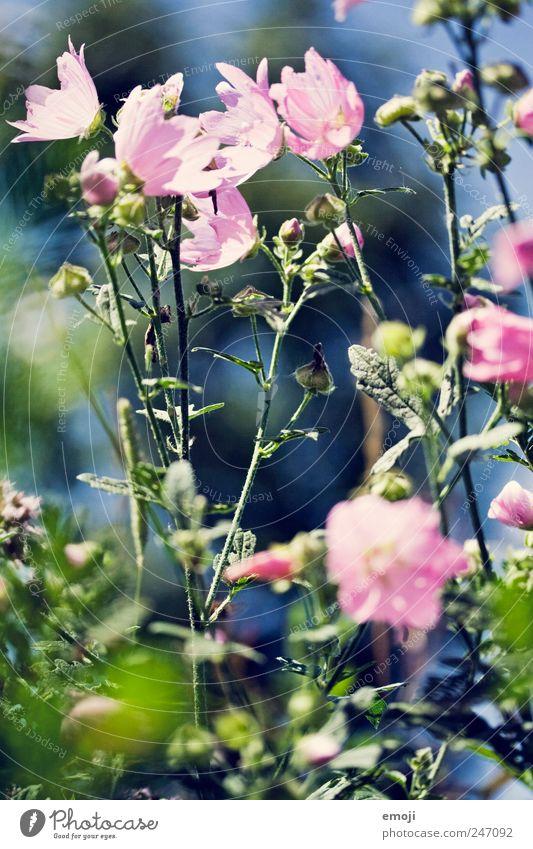 Green Plant Summer Flower Spring Pink Bushes Stalk Fragrance