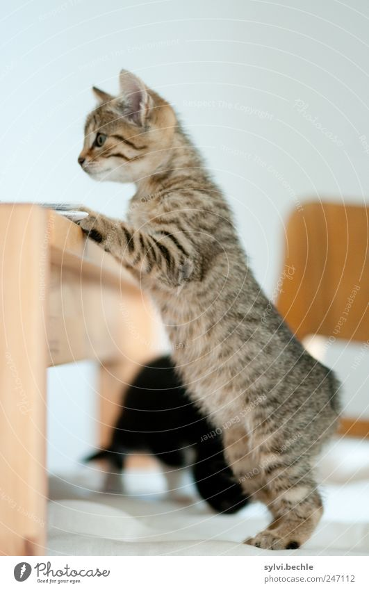 White Cat Animal Wood Brown Baby animal Flat (apartment) Table Search Stand Living or residing Chair Cute Observe To hold on Curiosity