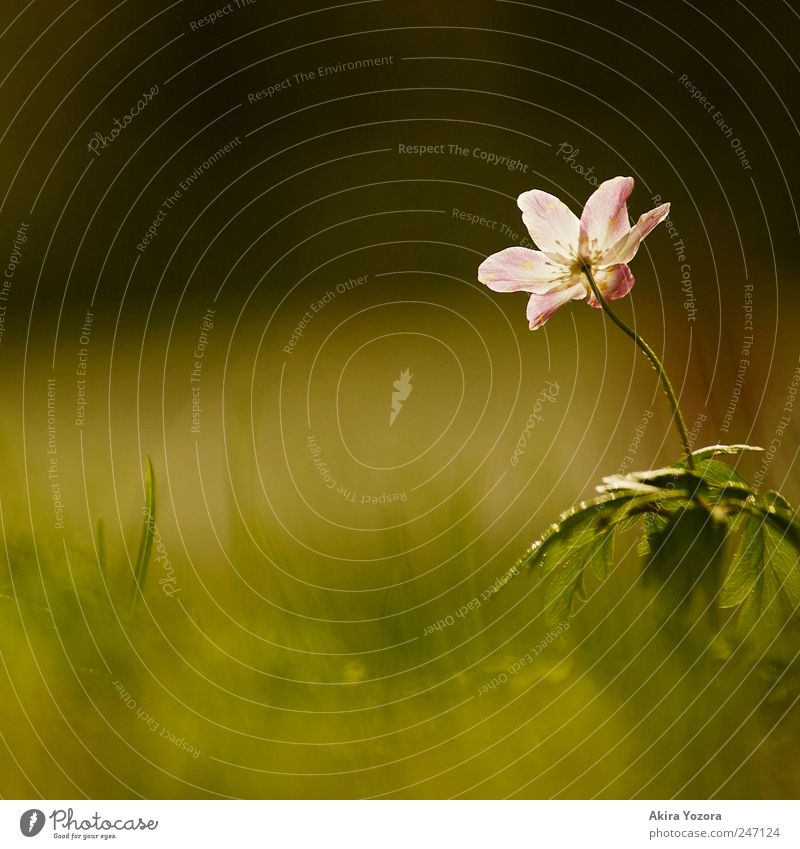 Observers and epicures Nature Plant Spring Flower Grass Leaf Blossom Wood anemone Meadow Blossoming Discover Growth Esthetic Green Violet White Loneliness