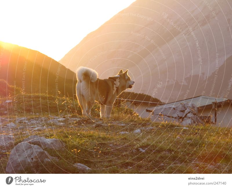 Dog in Gold Mountain Landscape Sunlight Summer Village Hut Roof Pet 1 Animal Stone Observe Listening Looking Stand Natural Curiosity Yellow Power Safety