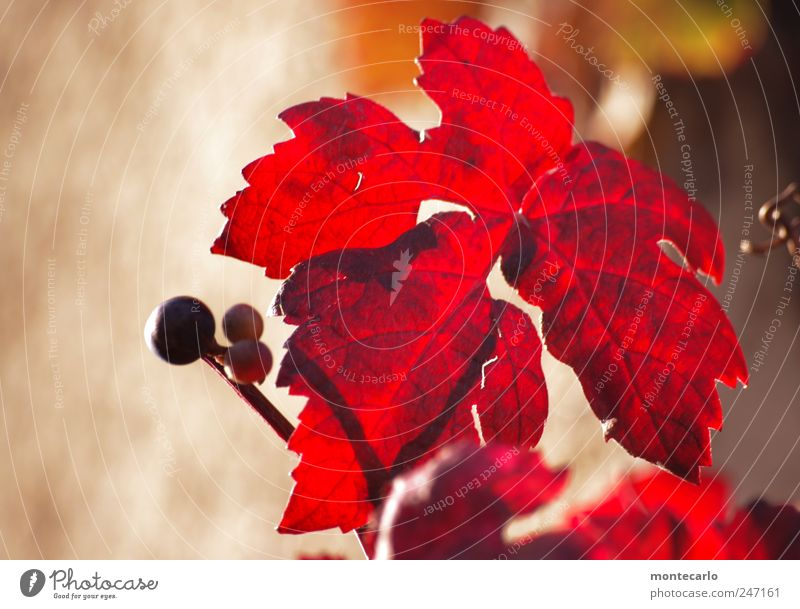 vine leaves Nature Plant Sunlight Summer Beautiful weather Leaf Agricultural crop Lakeside Brown Red Colour photo Multicoloured Exterior shot Close-up Day