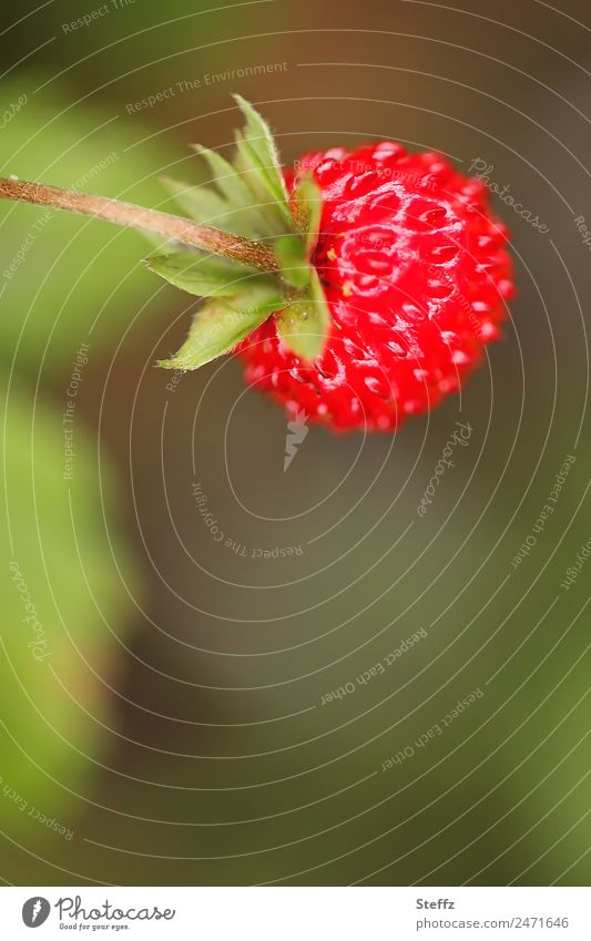 Forest Strawberry II Fruit Wild strawberry Nature Plant Summer Agricultural crop Berries Garden Fresh Delicious Round Sweet Green Red Edible Medicinal plant