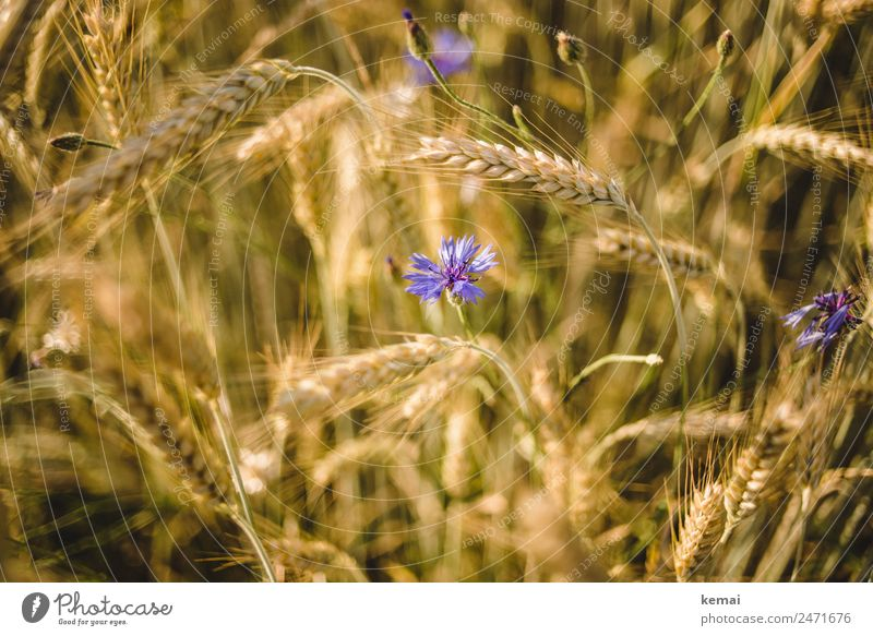 Corn and flower Harmonious Well-being Contentment Calm Nature Plant Summer Beautiful weather Warmth Flower Agricultural crop Cornflower Barley Barleyfield Field