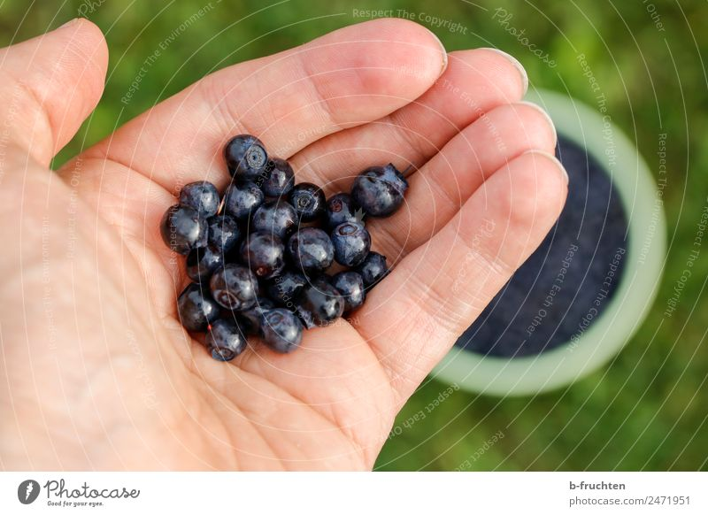 Wild blueberries Food Fruit Organic produce Hand Fingers Garden Meadow Forest Eating To hold on Fresh Healthy Blue To enjoy Blueberry Berries Pick