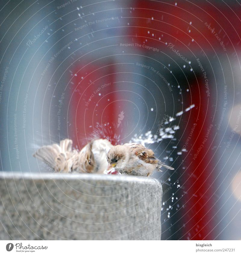 sparrow laundry Animal Bird Wing Sparrow 2 Pair of animals Well Stone Swimming & Bathing Fresh Gray Red Joie de vivre (Vitality) Drops of water Water