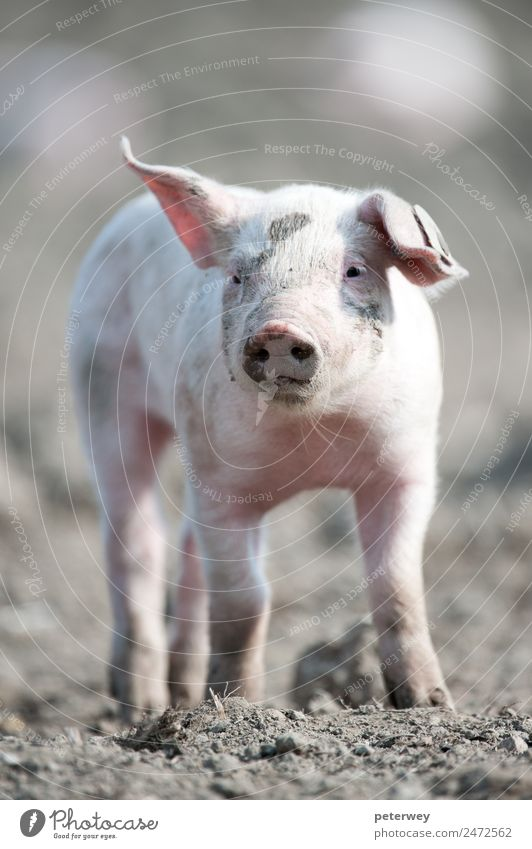 Cute happy baby pig with ear tag Field 1 Animal Baby animal Stand Funny Pink agriculture barn barnyard cute dirt domestic farm farmyard head hog little mud oink