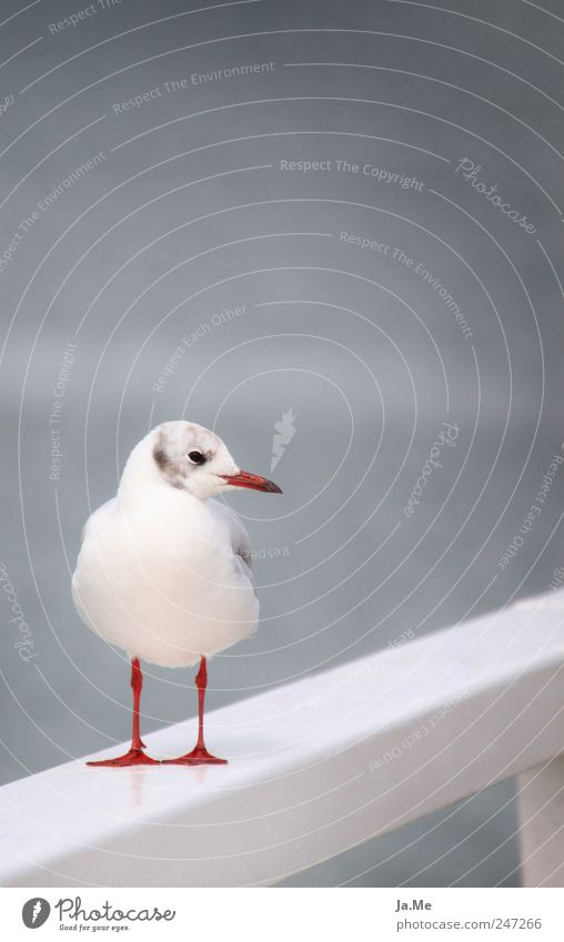 Seagull grey in grey Environment Nature Animal Wild animal Bird 1 Calm Black-headed gull  Full-length Bright background Isolated Image Colour photo