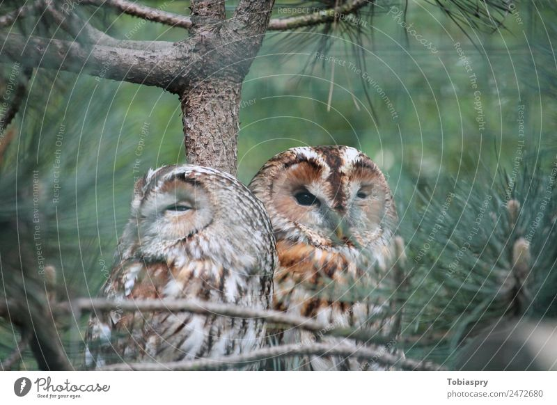 Two eagle owls in a tree Animal Wild animal Bird 2 Pair of animals Wood Brown Green Eagle owl strigidae Colour photo Exterior shot Day Blur Long shot