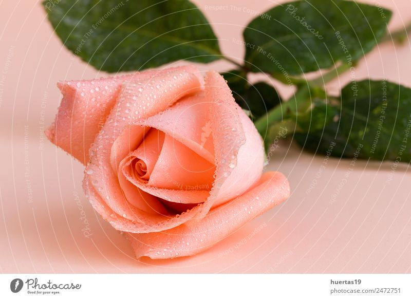 Pink rose Elegant Style Beautiful Wedding Nature Flower Car Natural Green isolated background valentine bunch Single Floral Blossom leave greeting romantic