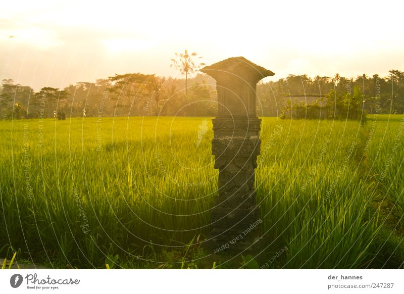 BALI Grain Rice Organic produce Culture Environment Nature Landscape Sunrise Sunset Summer Climate Beautiful weather Plant Grass Agricultural crop Field