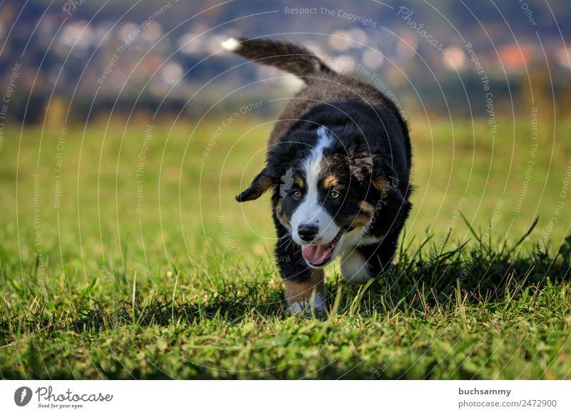 Junger Bernersennenhund Berner Sennenhund Haustier Herbst Tier Welpe animal canon dog pet puppies puppy dog young menschenleer jung