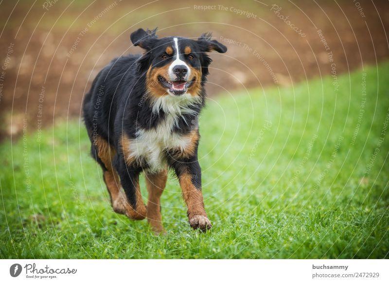 Bernese mountain dog Bernese Mountain Dog Pet Nature outdoor pet Running action man's best friend? Purebred dog Meadow Joy Joie de vivre (Vitality)