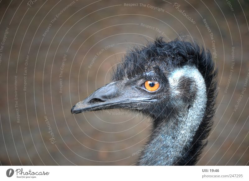 No, I'm not an ostrich! Earth Animal Wild animal Bird Animal face Wing 1 Observe Looking Large Muscular Thin Speed Strong Gray Black Beautiful Curiosity Pride