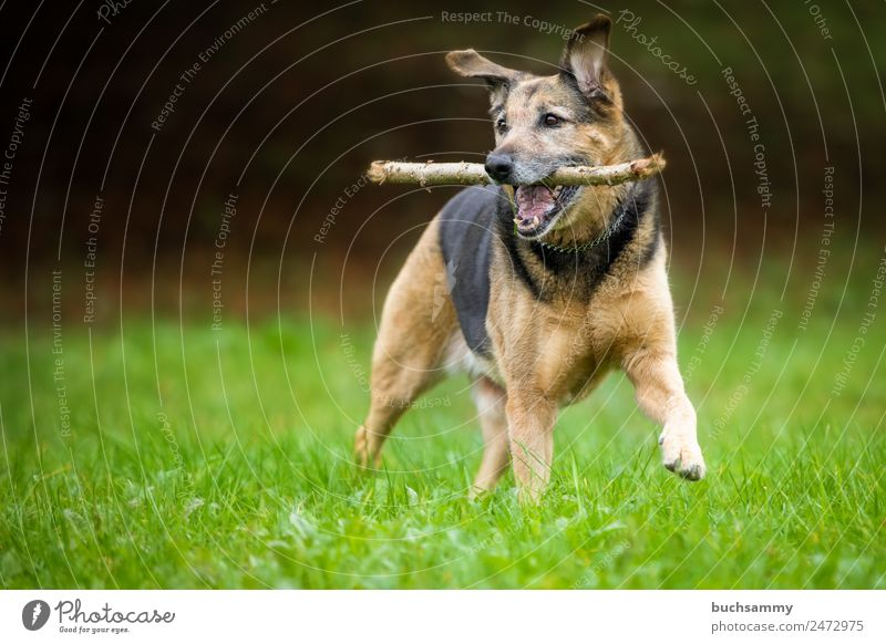 Mongrel dog playing Dog Pet crossbreed dog Crossbreed Shepherd dog Playing Romp little stick Meadow Outdoors Nature Happiness best friend